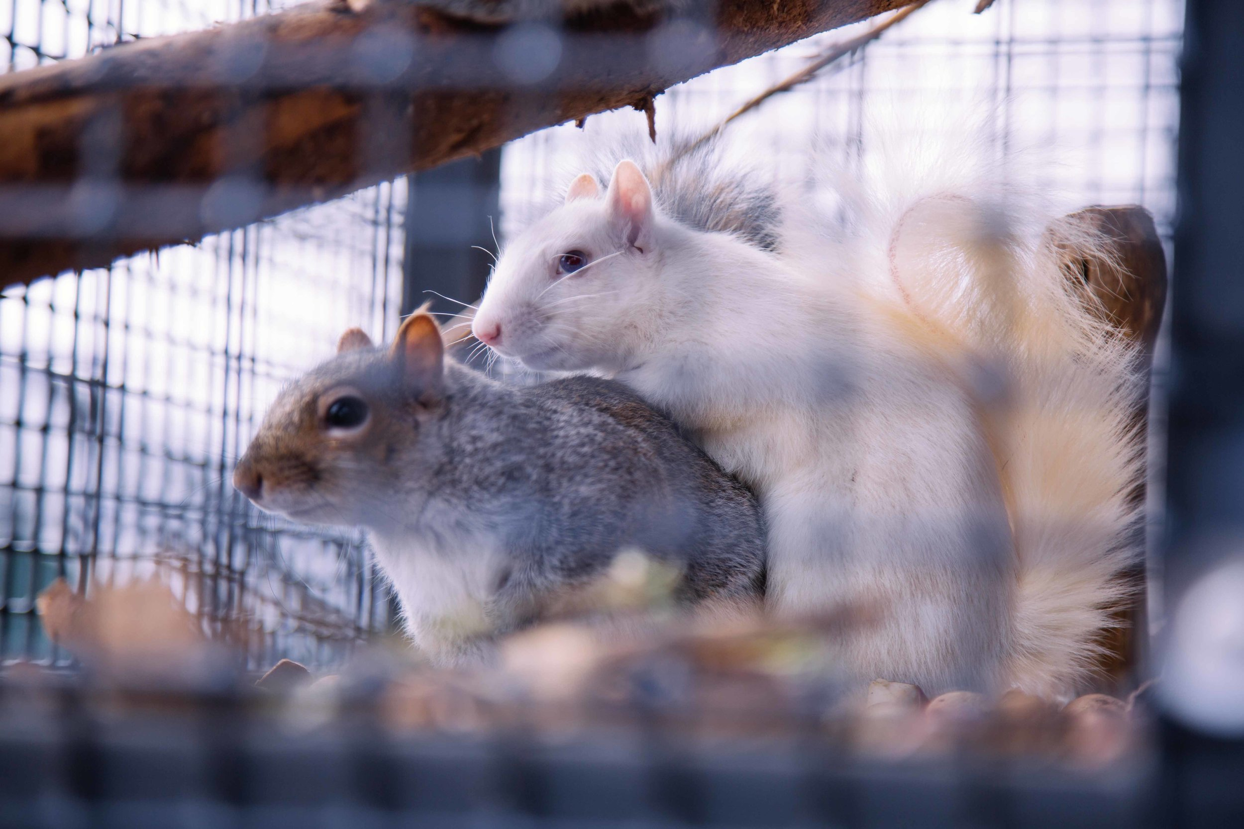 When all of the other baby squirrels started turning grey, Filbert's white fur and vibrant blue eyes stood out to the sanctuary staff. He is not an albino squirrel, but an extremely rare mutation of an eastern grey squirrel (which are quite common to the area). Here, he's playing with one of his brothers in a large outdoor enclosure.