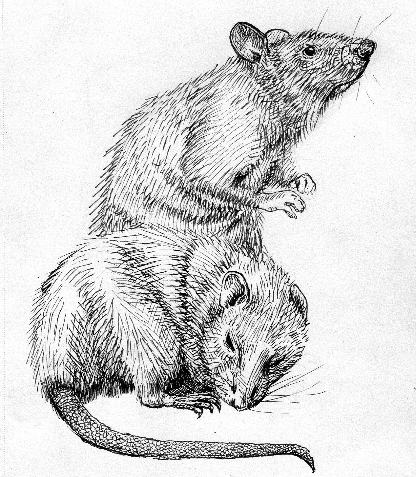 rats005.jpg