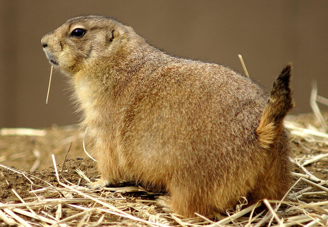 1280px-Prairie_Dog_Washington_Zoo.JPG