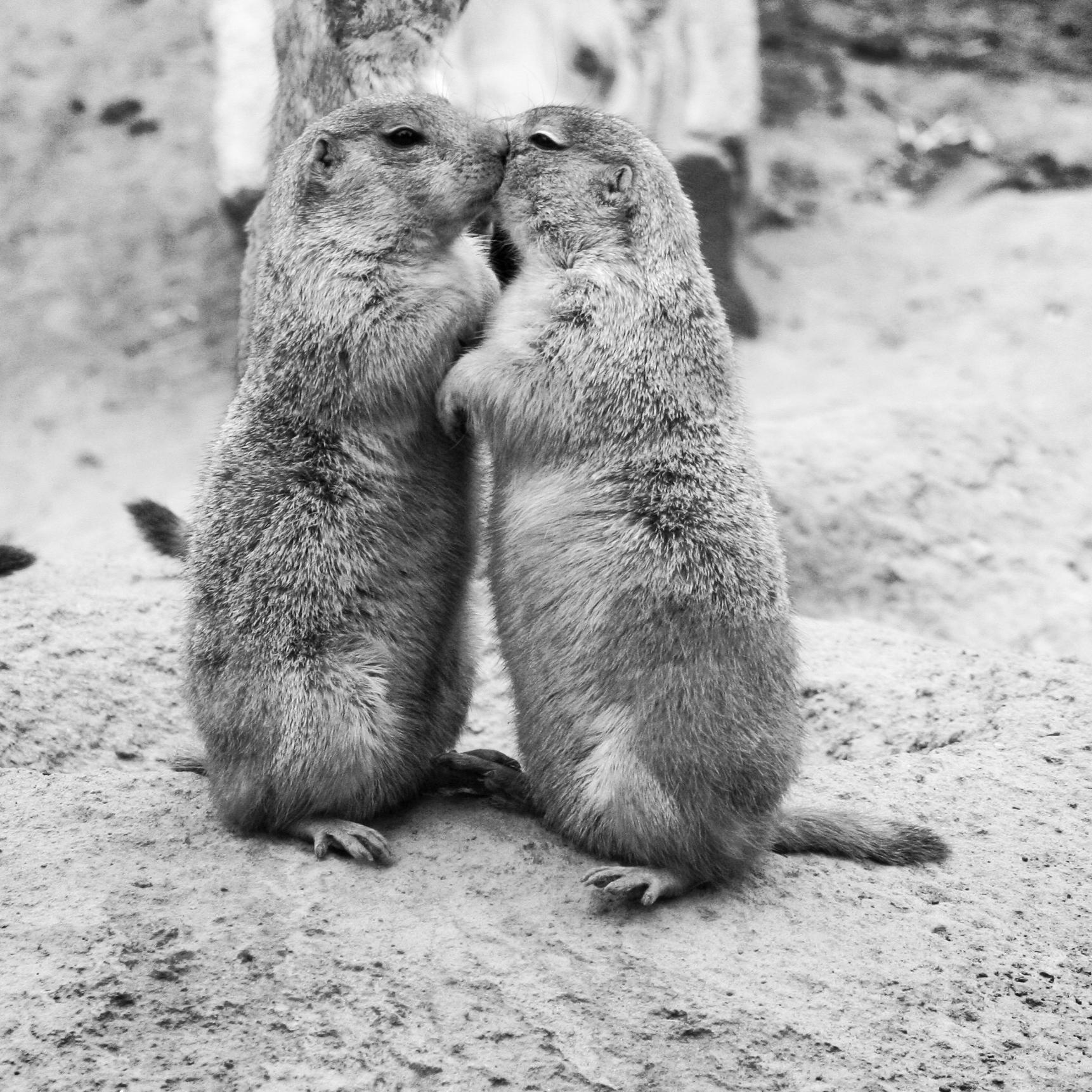 Kissing_Prairie_dog_edit_3.jpg