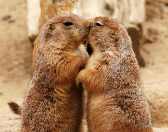 Kissing_Prairie_dog_edit_3.jpg