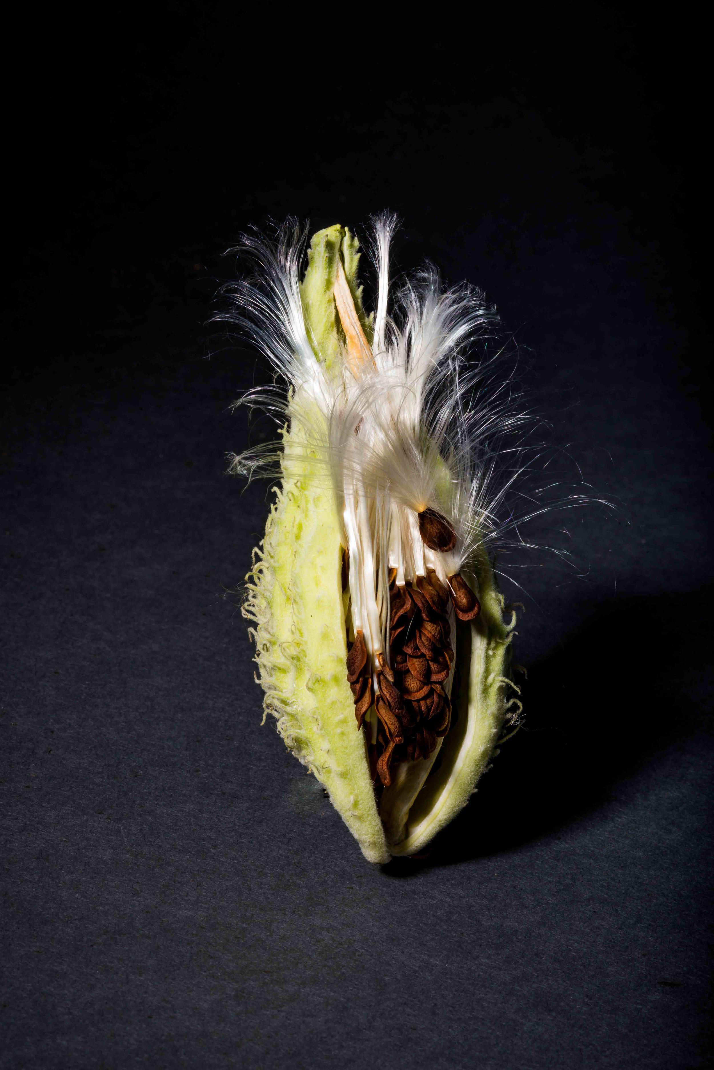Milkweed study 4
