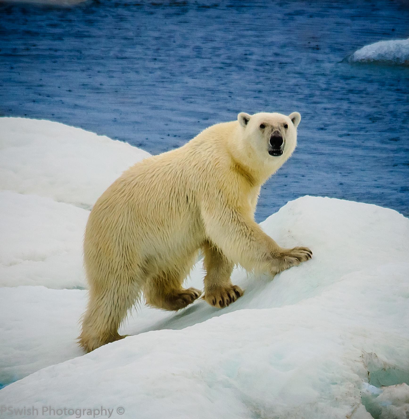 First Polar bear sighting in the wild.