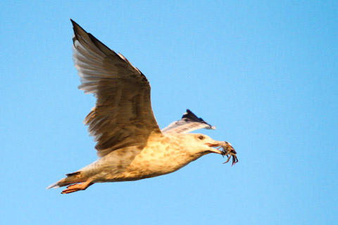 FabioBoscoPhotography_Seagull flying with crab-__Small.jpg