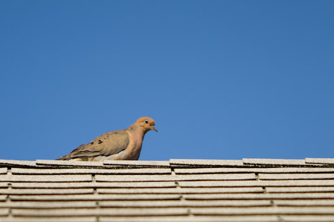 FabioBoscoPhotography_Mourning Dove on the roof-067075__Small.jpg