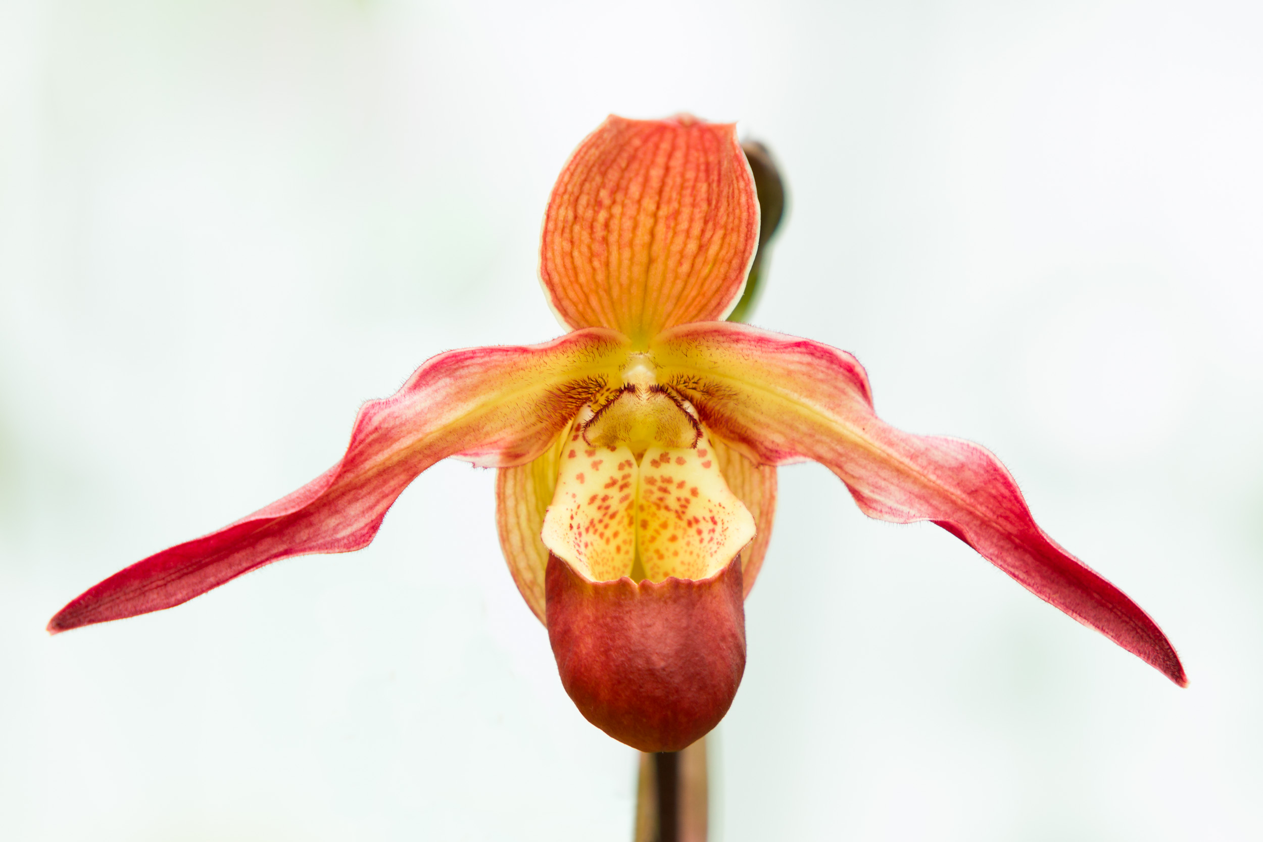 FabioBoscoPhotography_Flying Orchid-058805.jpg