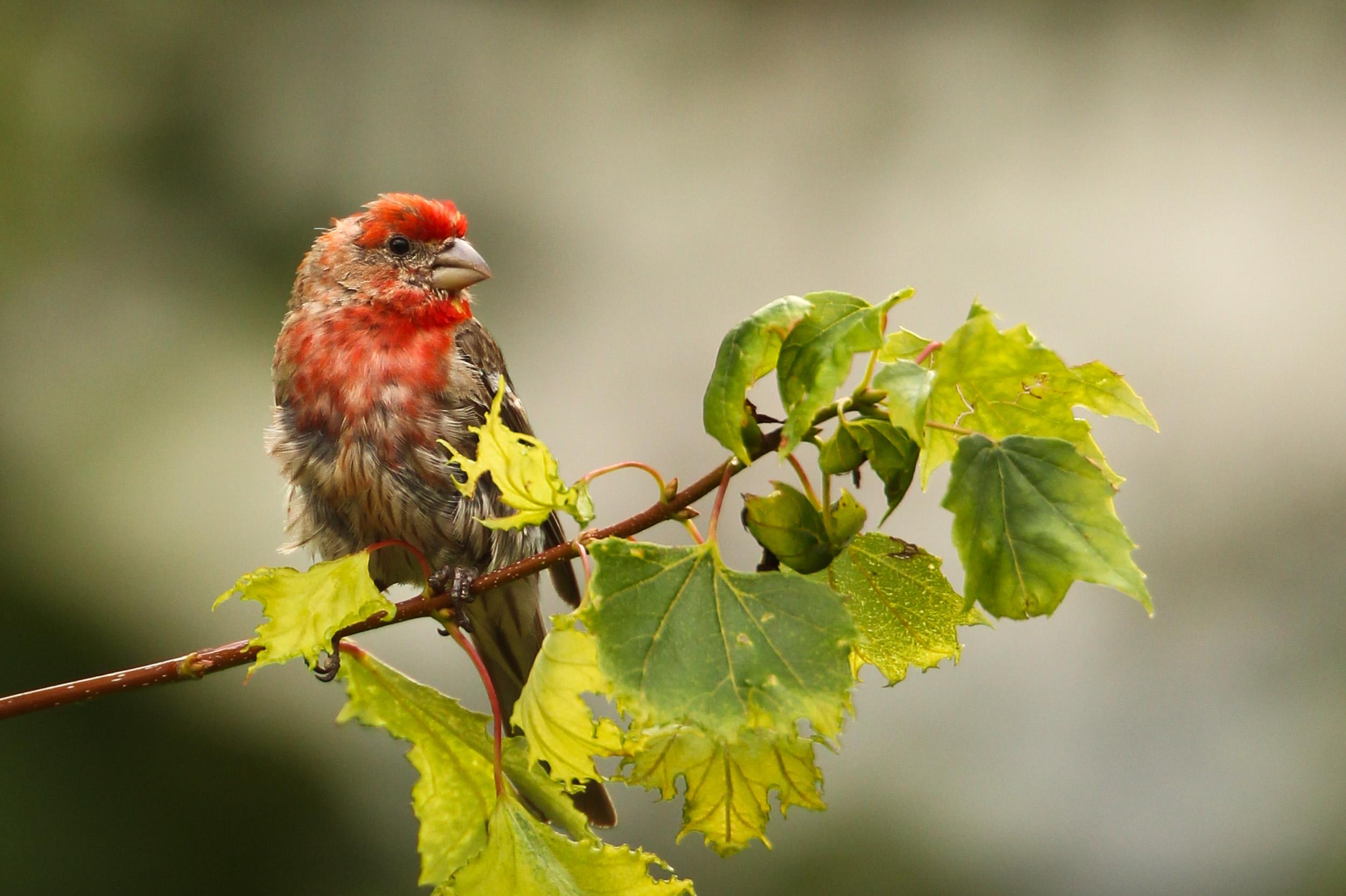 FabioBoscoPhotography_House Finch Bird-035703.jpg