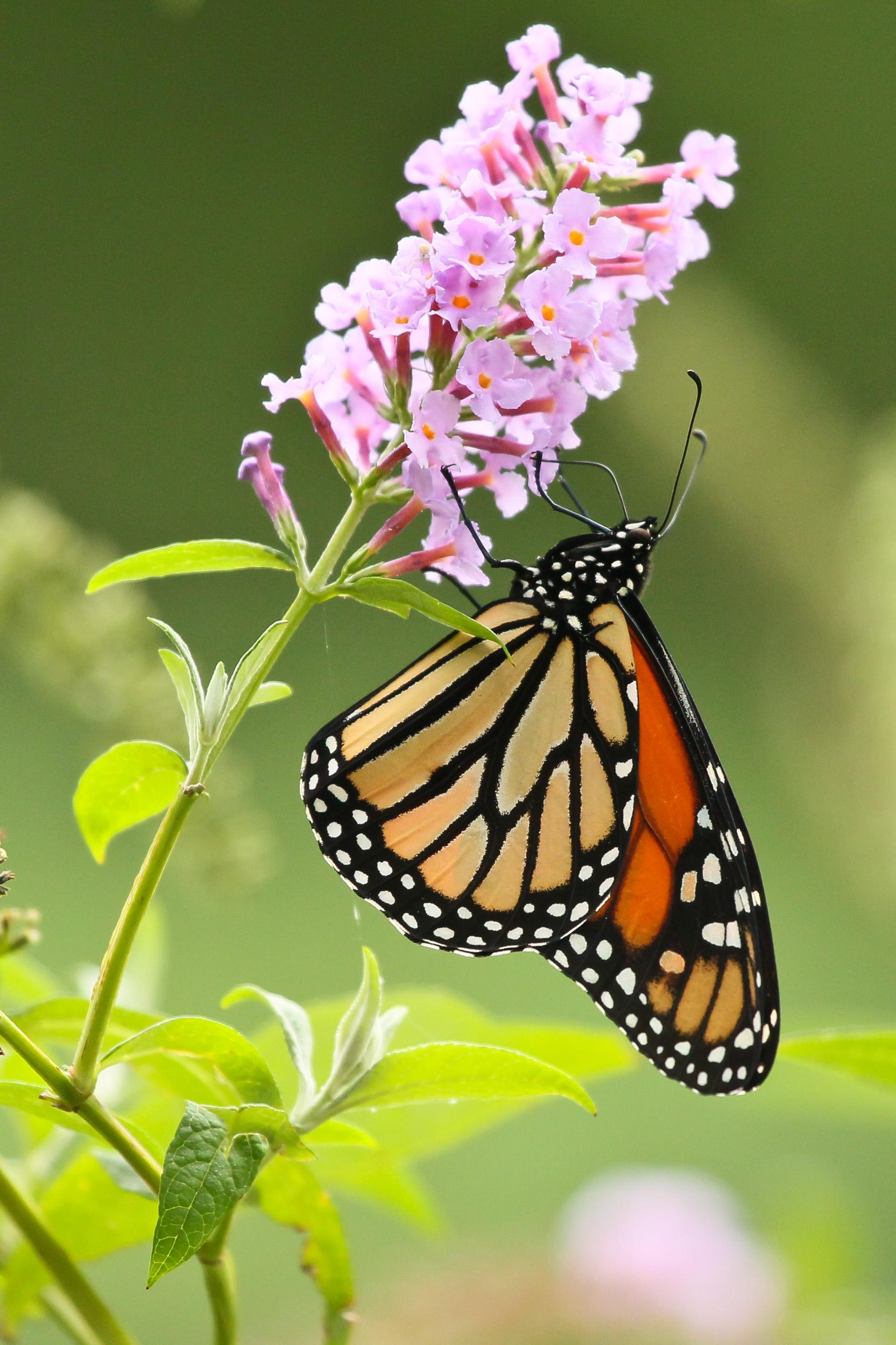 FabioBoscoPhotography_Monarch Butterly-041597.jpg