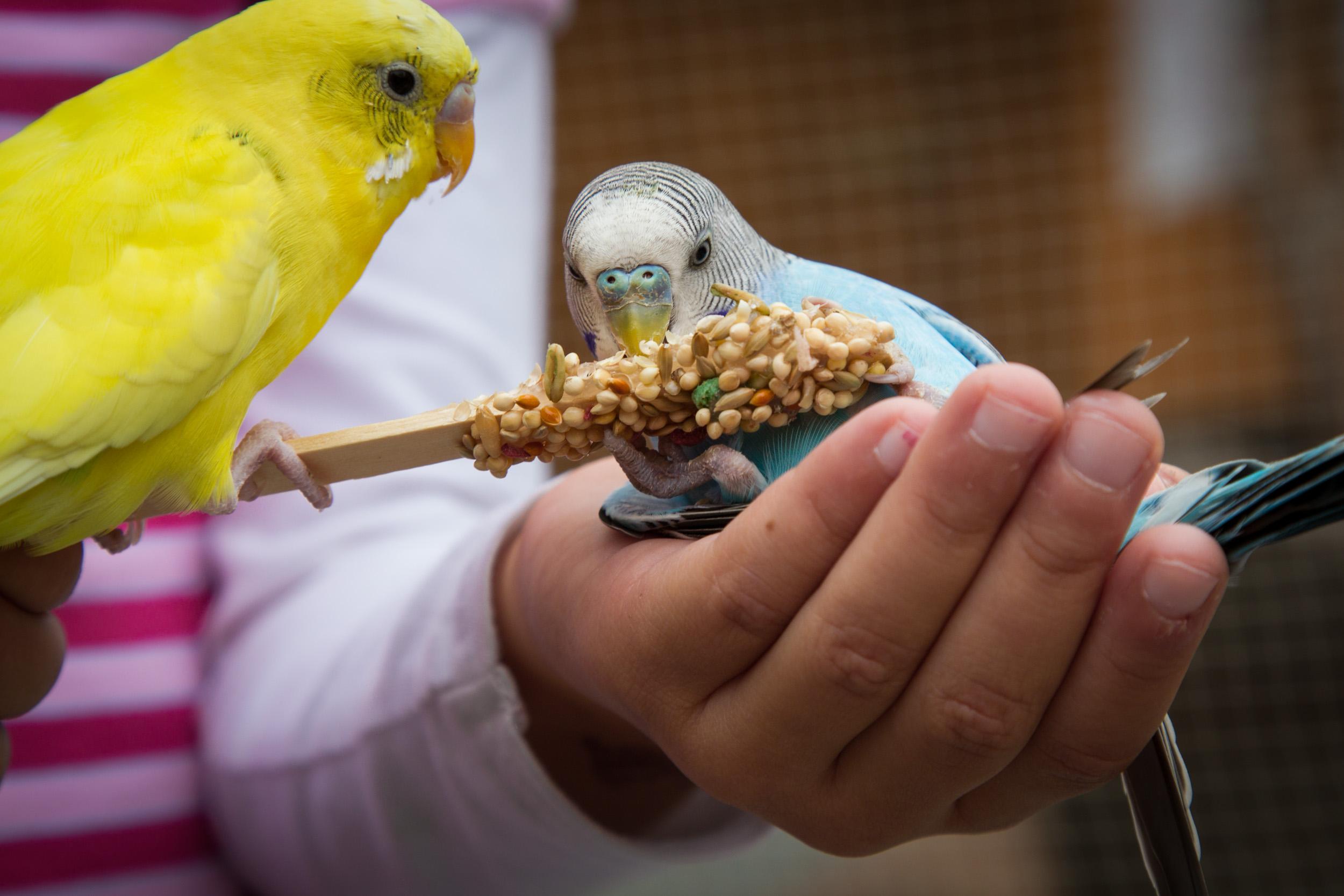 Cute Parakeets