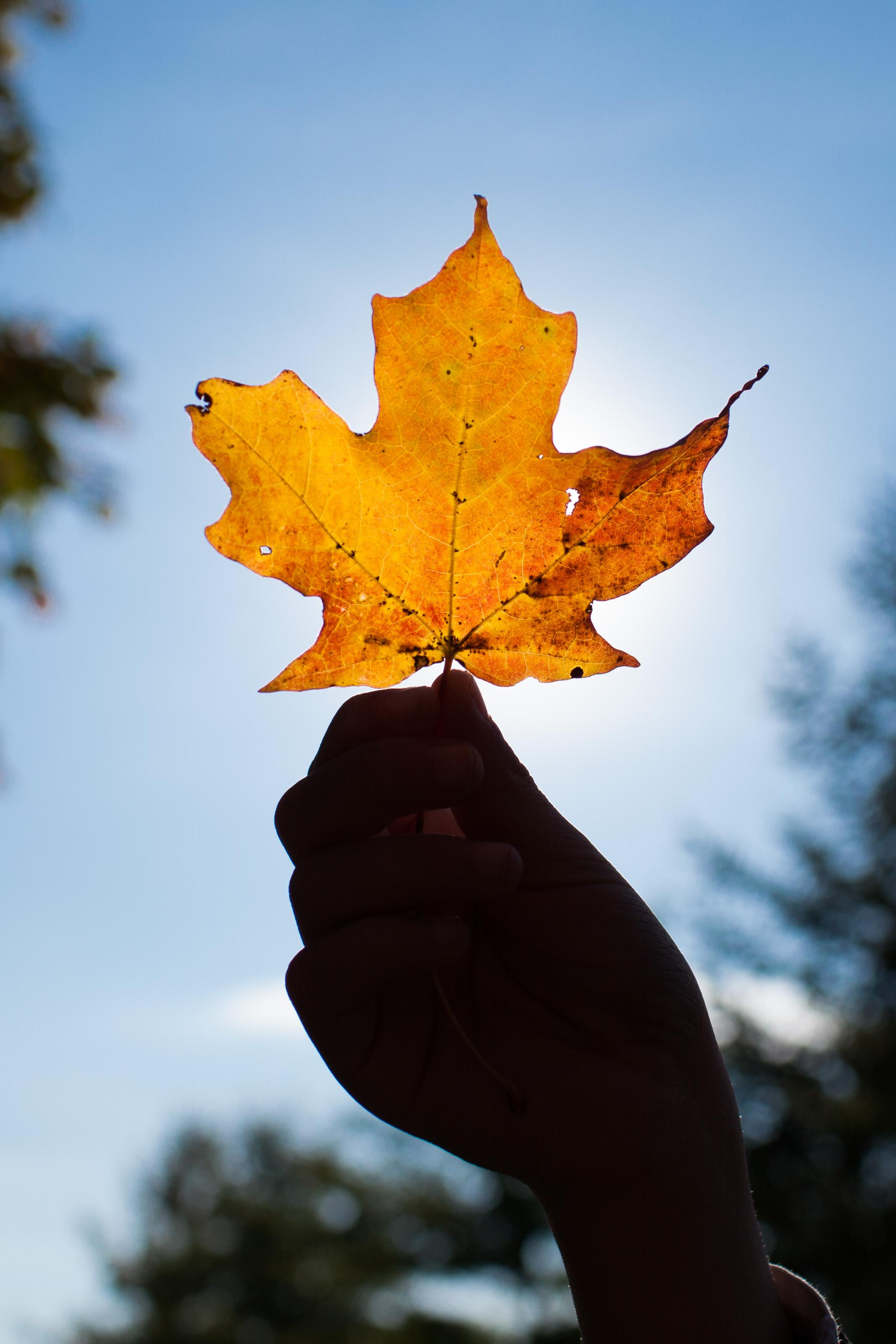 Orange Mapple Leaf