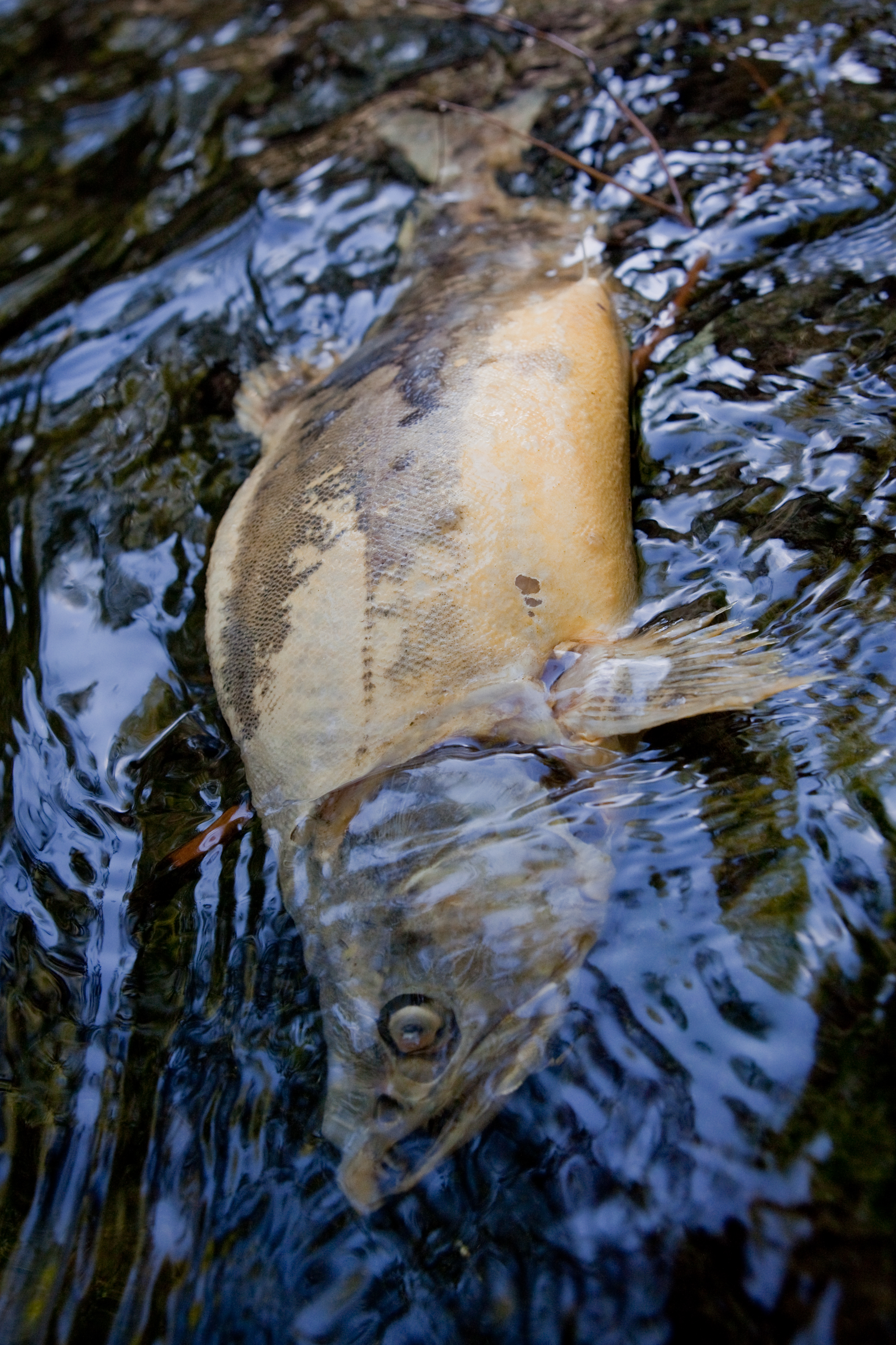 A salmon carcass begins to decay in a small stream in Sitka, Alaska.  Salmon return to the river to spawn and are essential contributors to the ecosystem in their death.