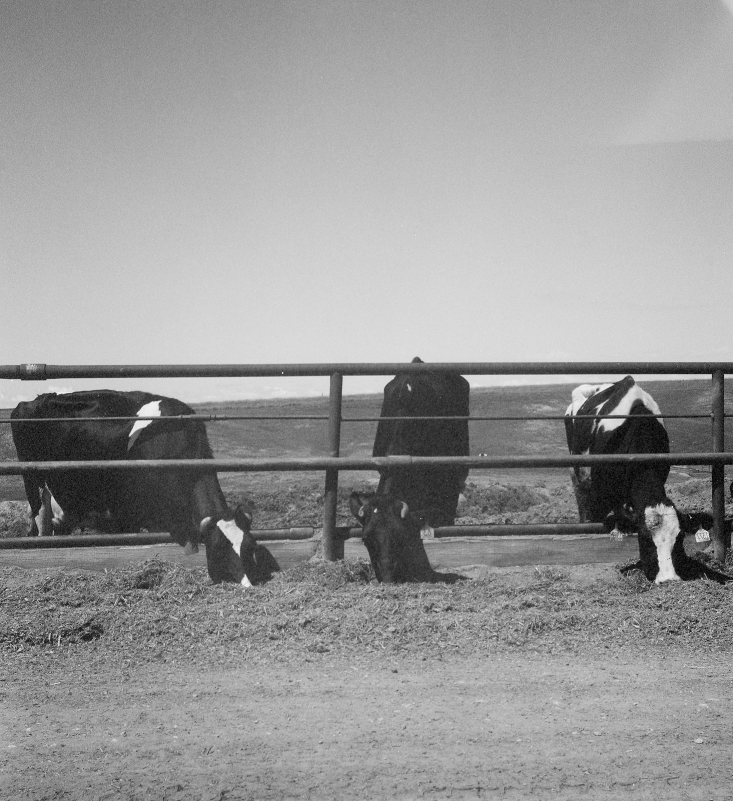 Holstein cattle, Beaver Creek Ranch, 2011. (Color film converted to B&W.)