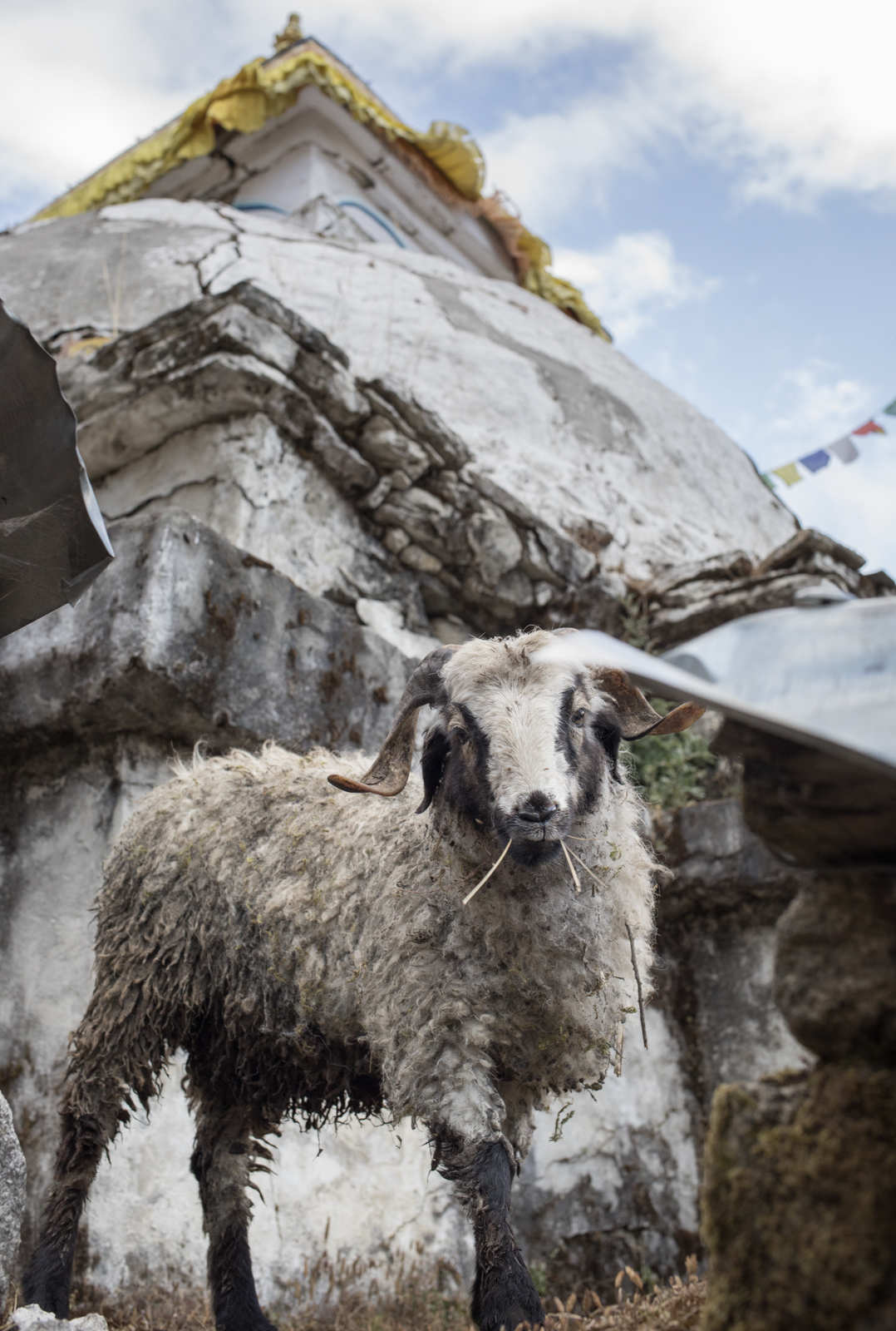 A small sheep grazes on some grass growing on the platform of an older Stupa.  Namche Baazar, Nepal.