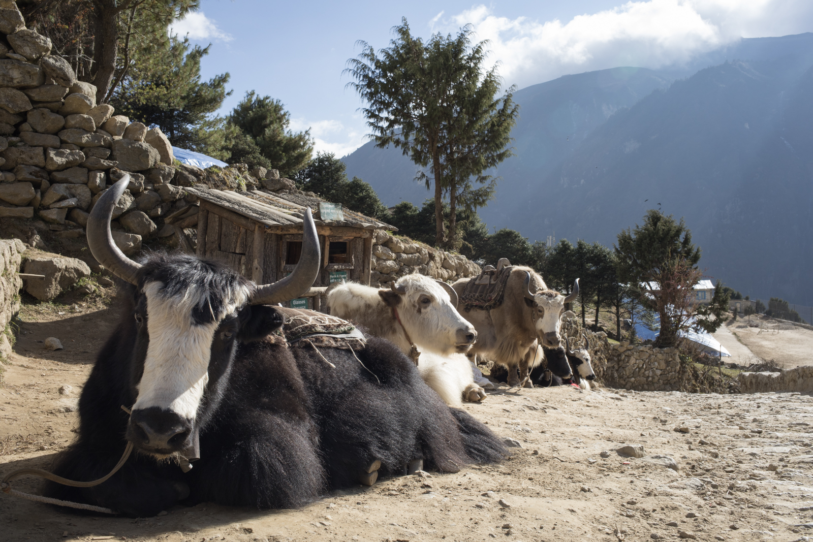 Yak rest along the upper road near Namche Baazar.