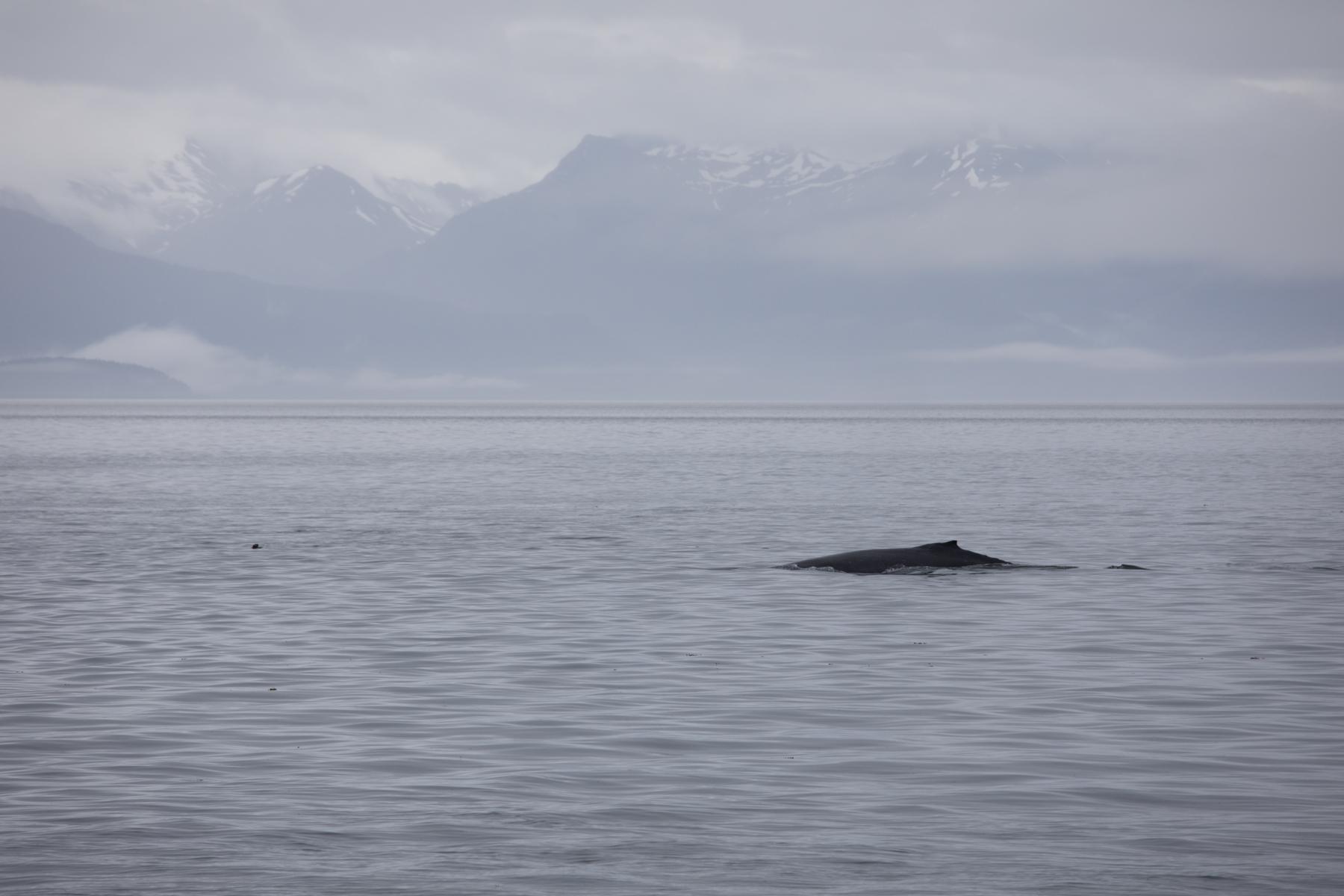 Humpback whale, Chichagof Island.