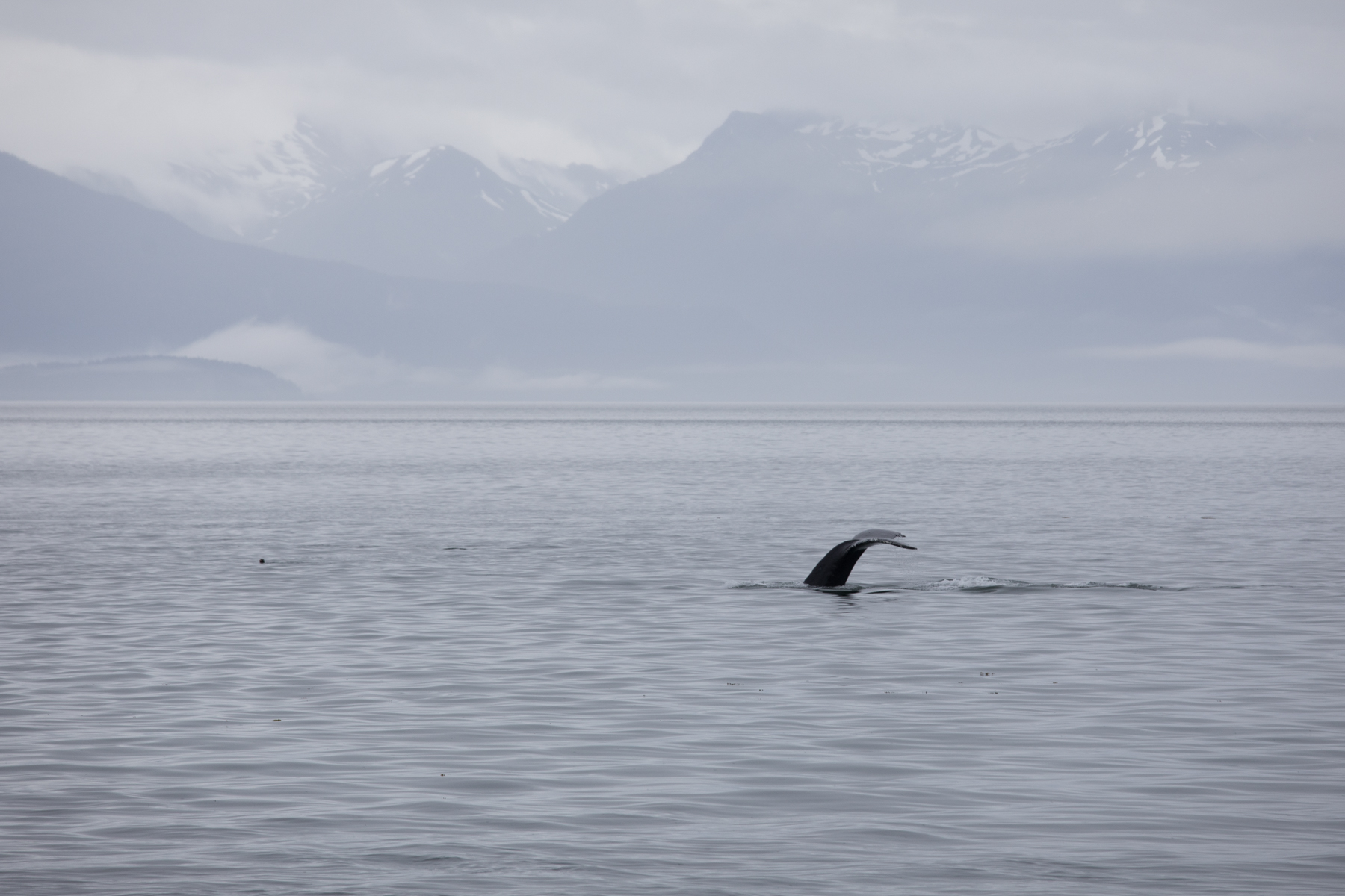 The whale's flukes appear in the air as it dives deeper to feed.  At this point in the evening the rain began to lift for a very welcome break in the weather.  You can see the lower point of Pleasant Island and the mainland in the background.
