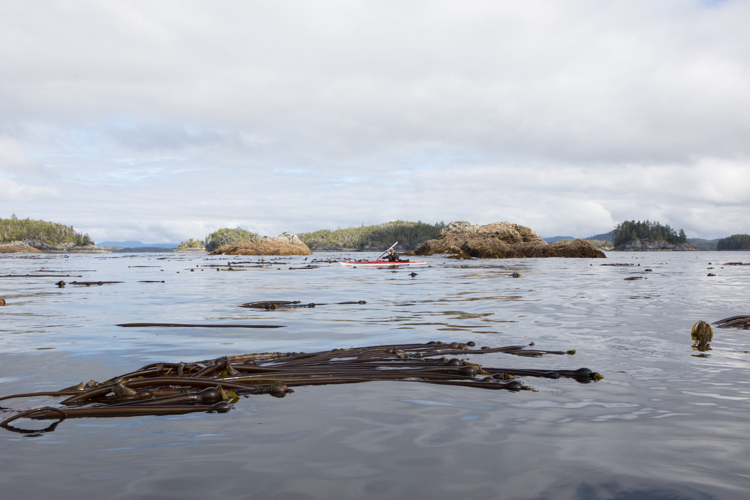 Aaron paddles through a Bull Kelp bed.