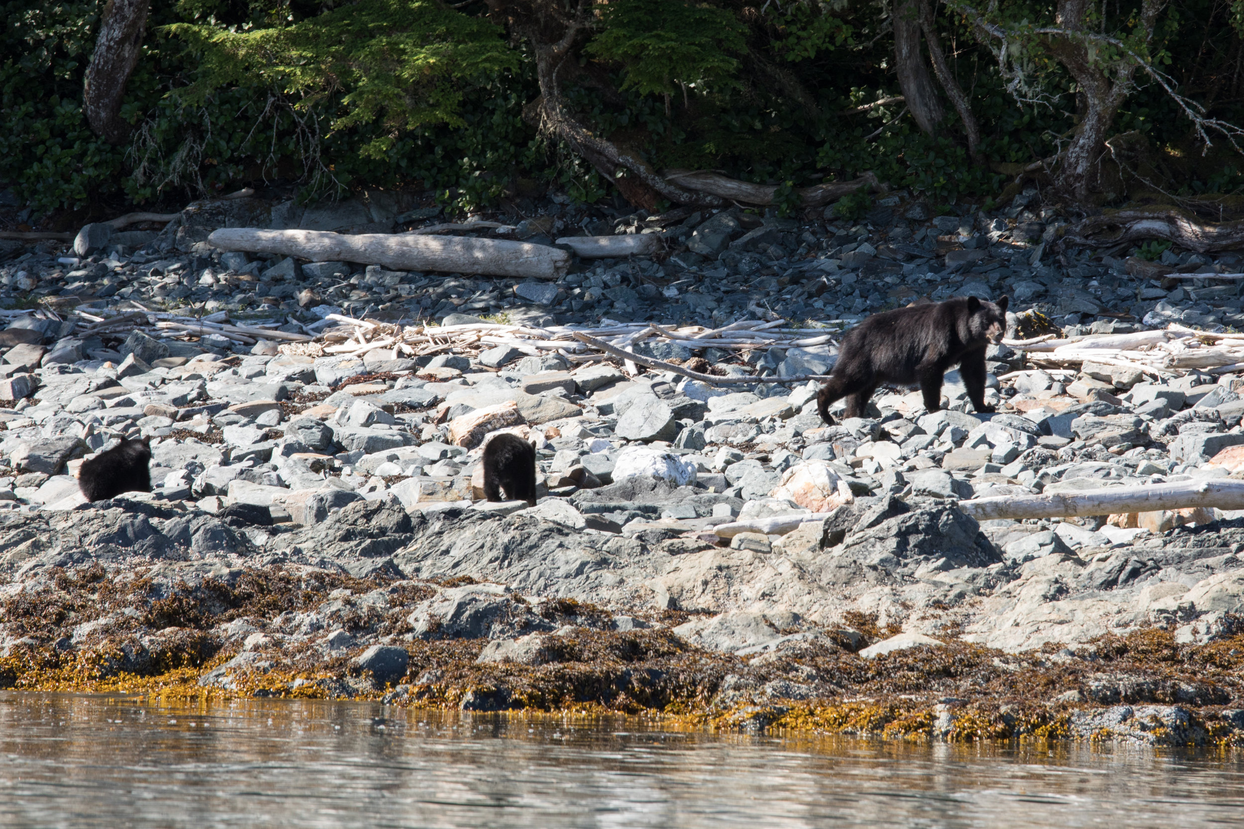 S POW was rich in wildlife. We say many black bear, and quite a few cubs. This mother and her cubs were on the beach rolling rocks to forage for food.