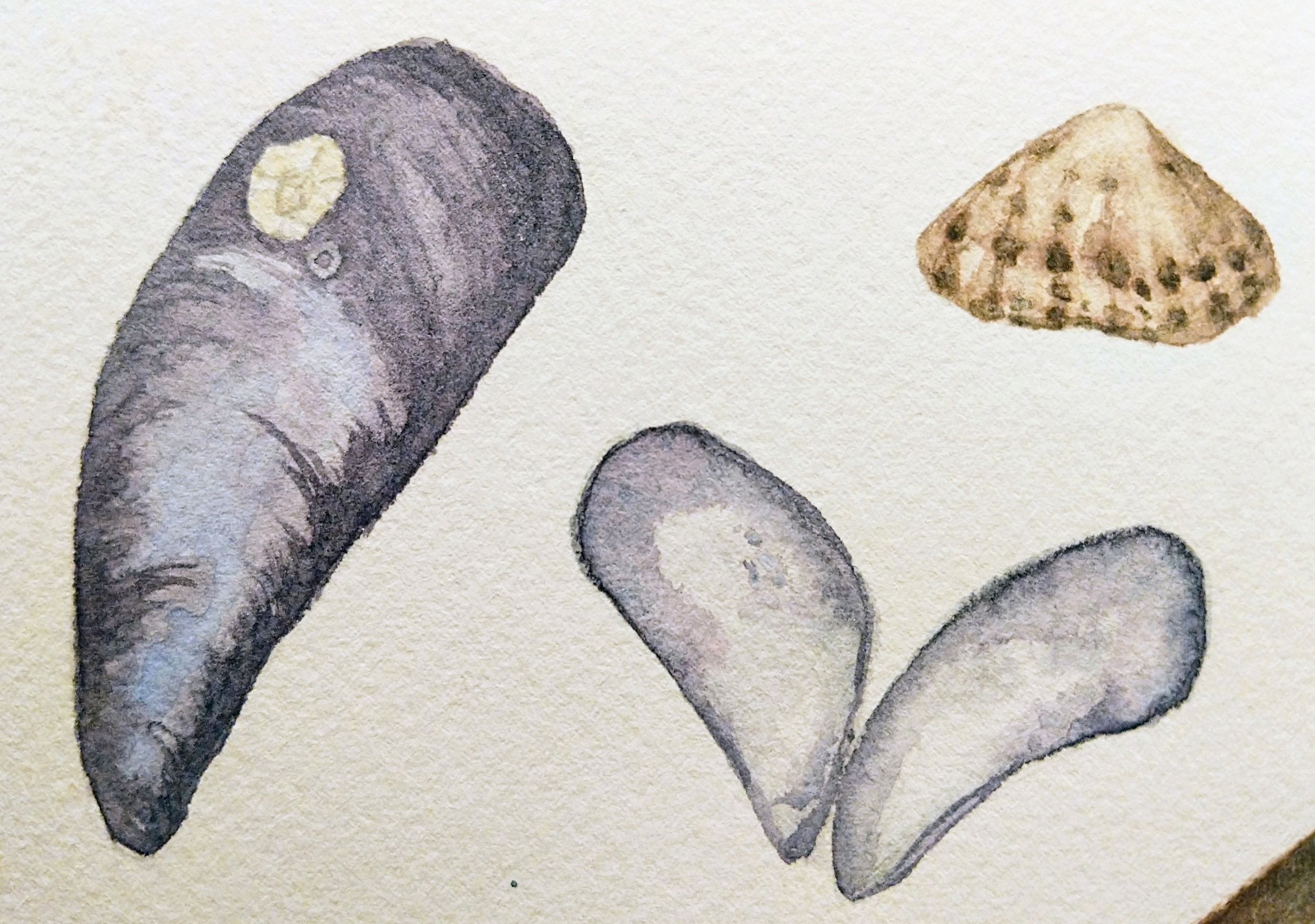 Watercolor paint sketch - Mussels and limpet.