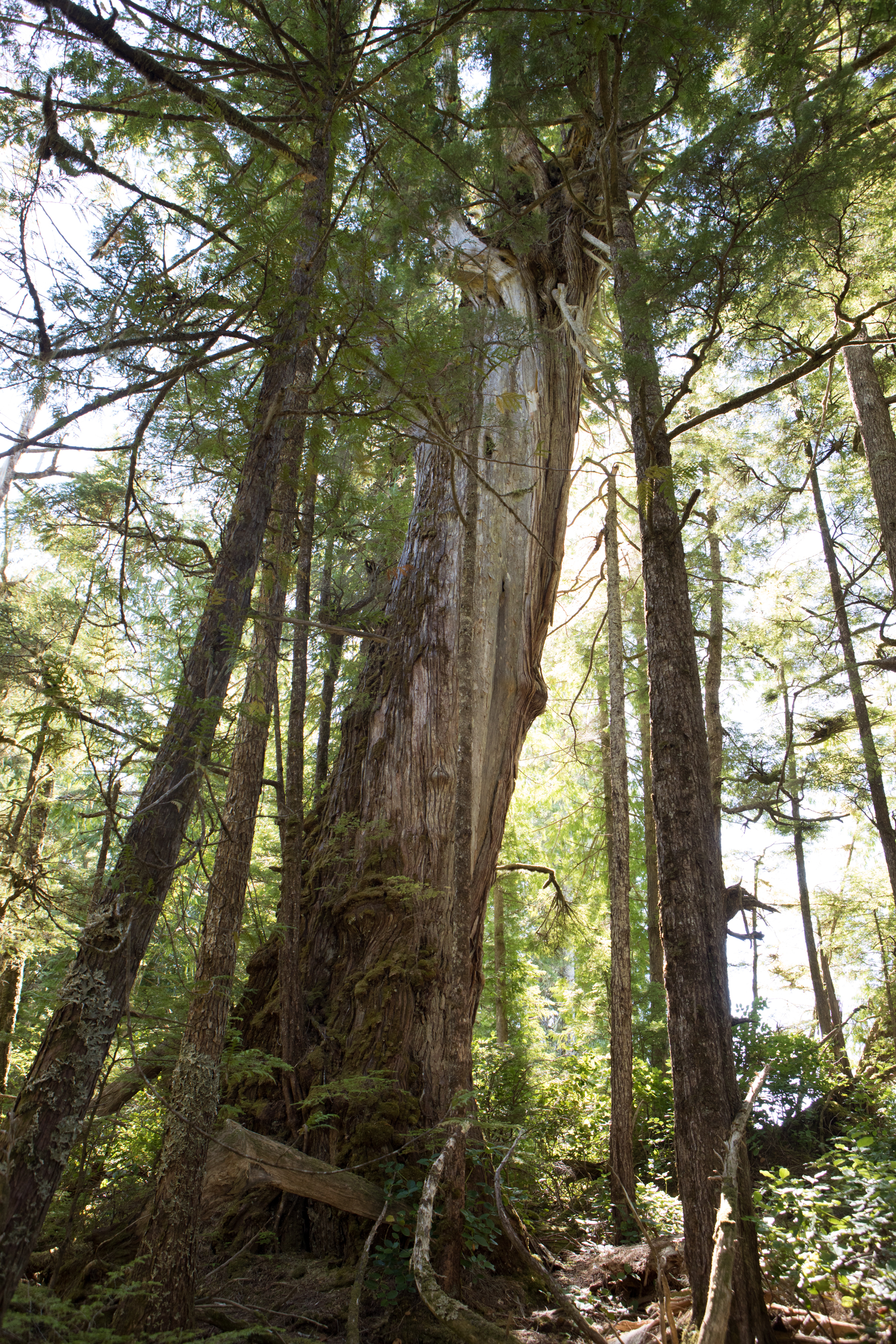 Tall Cedars. As a designated Wilderness Area, we were able to enjoy forested land that had not been logged.