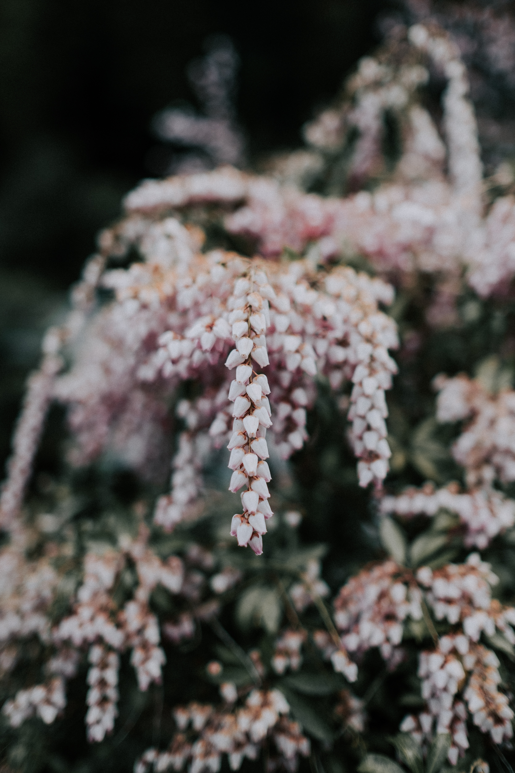 Japonica flowers.