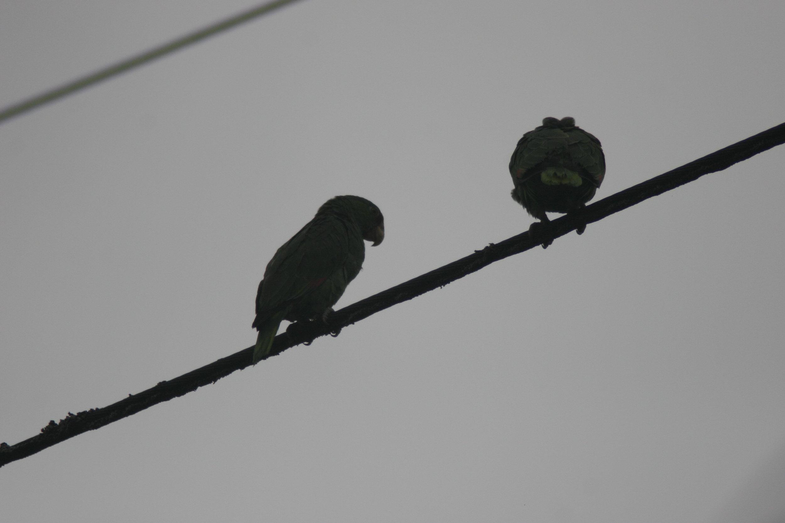 skyline Parrots