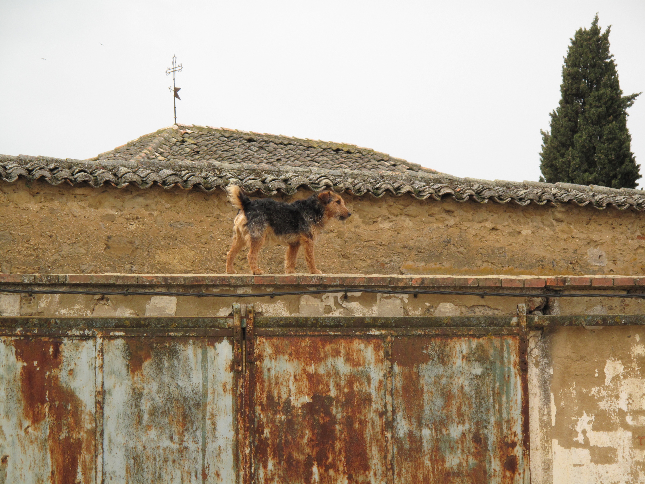 This was another bus day. I bussed 26.8 km from Carrión de los Condes to Terradillos de Templarios after walking 5.6km from Villalcázar de Sirga. This dog was walking back and forth on the roof of this house, barking at people.
