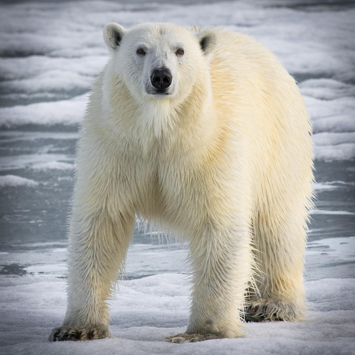 muench-workshops-svalbard-polar-bear.jpg
