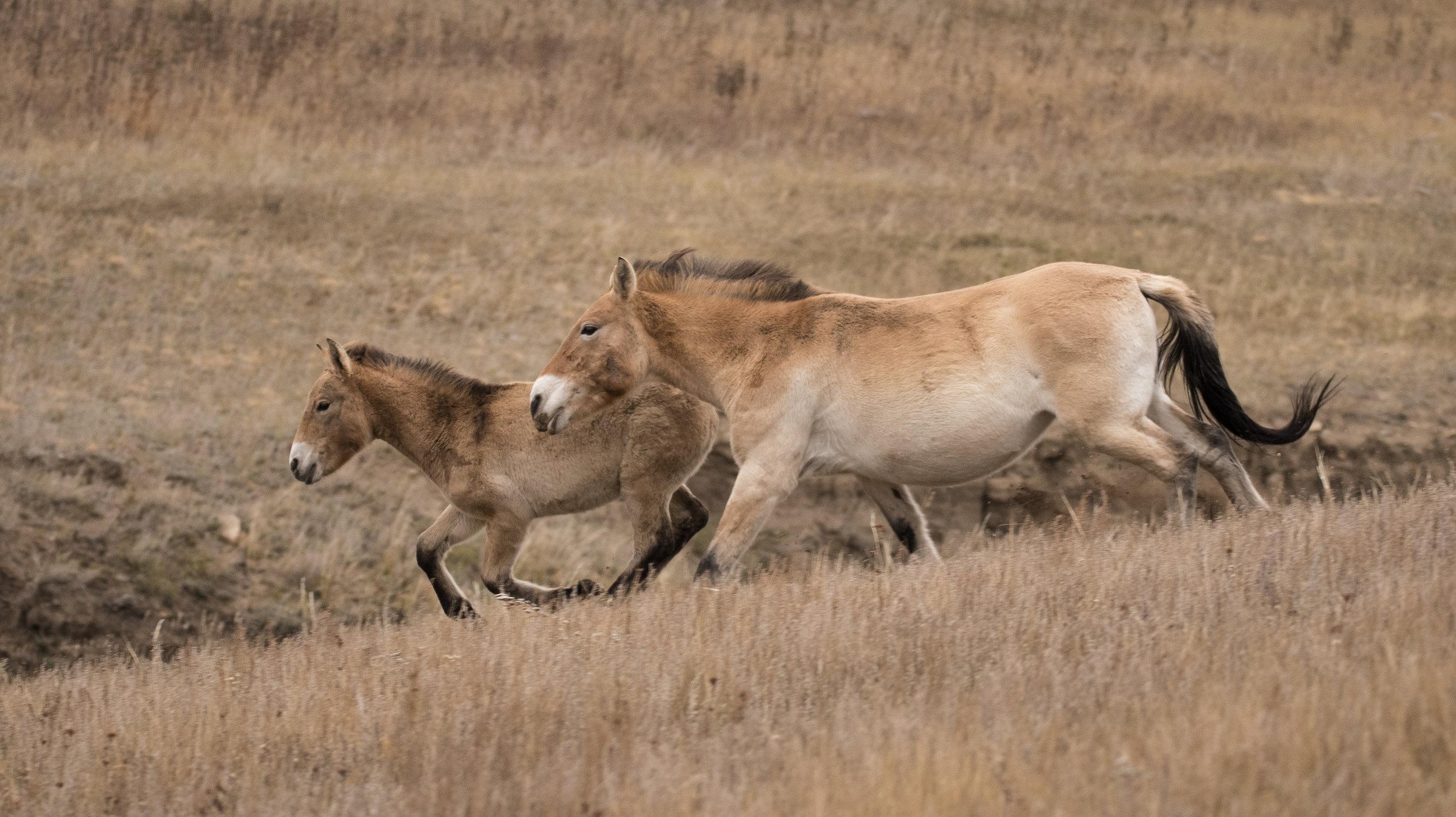 Przewalski horse.jpg