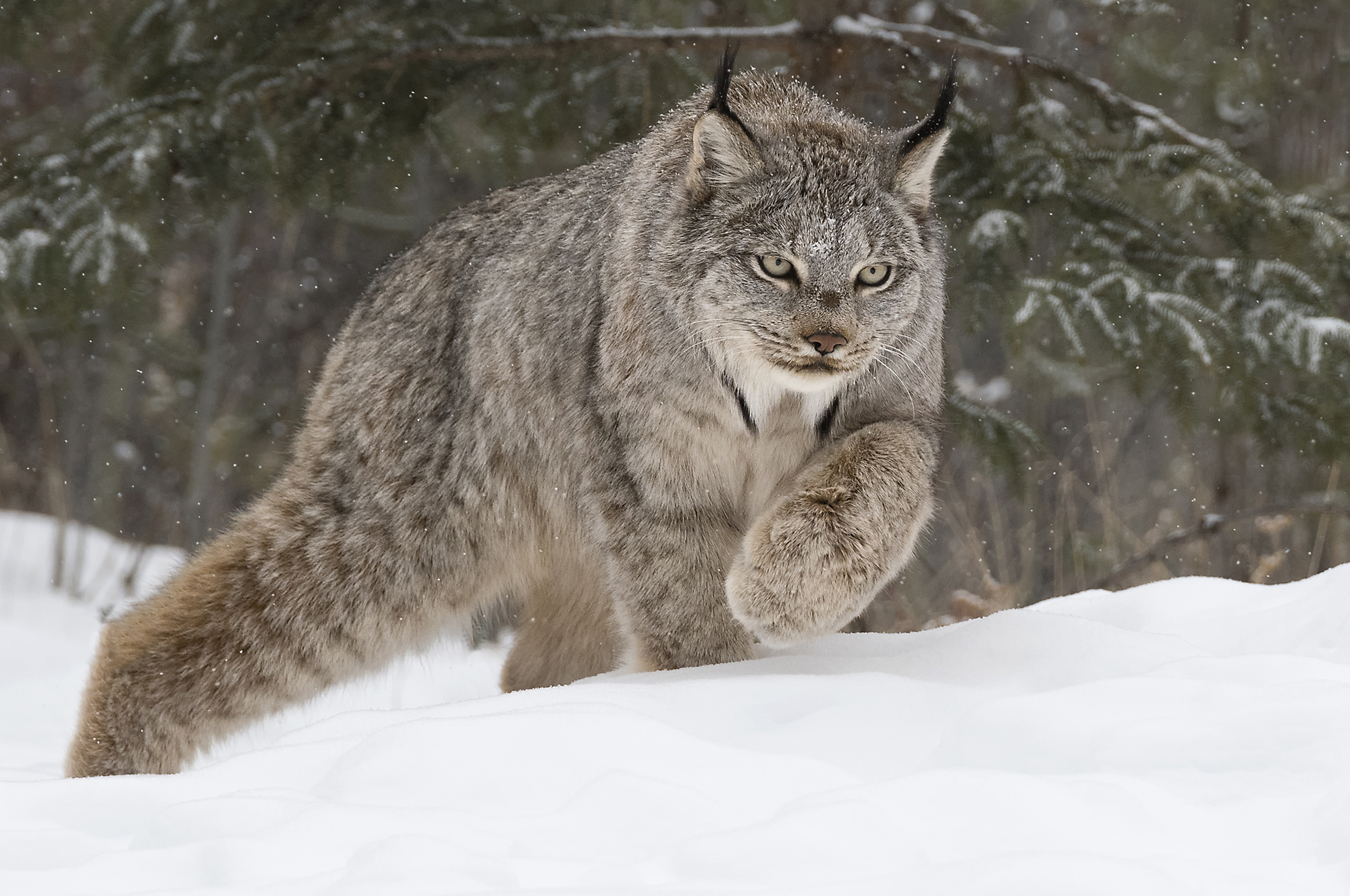 header photo of canada lynx in the forest.jpg