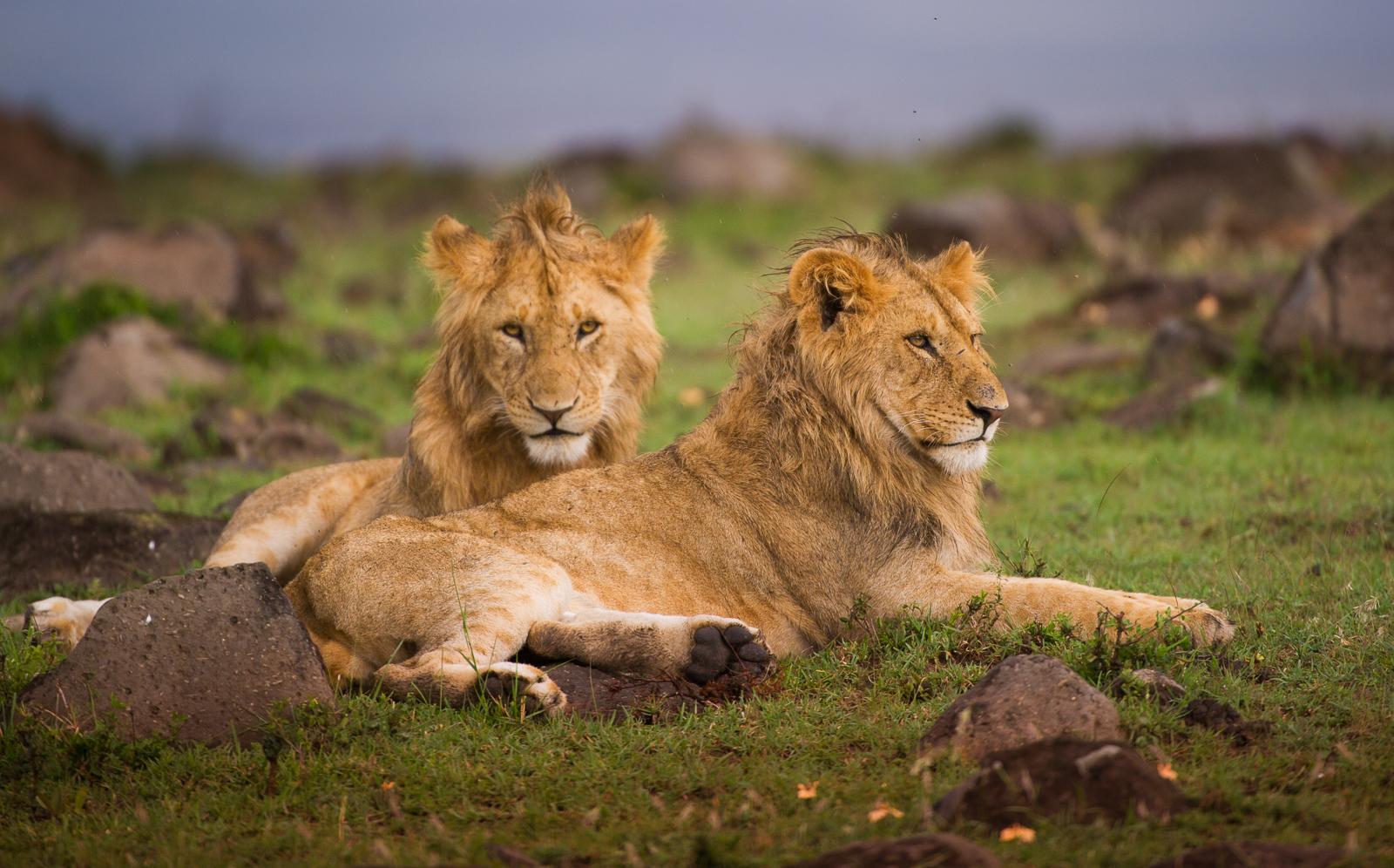 Lions, Maasai Mara National Reserve, Kenya