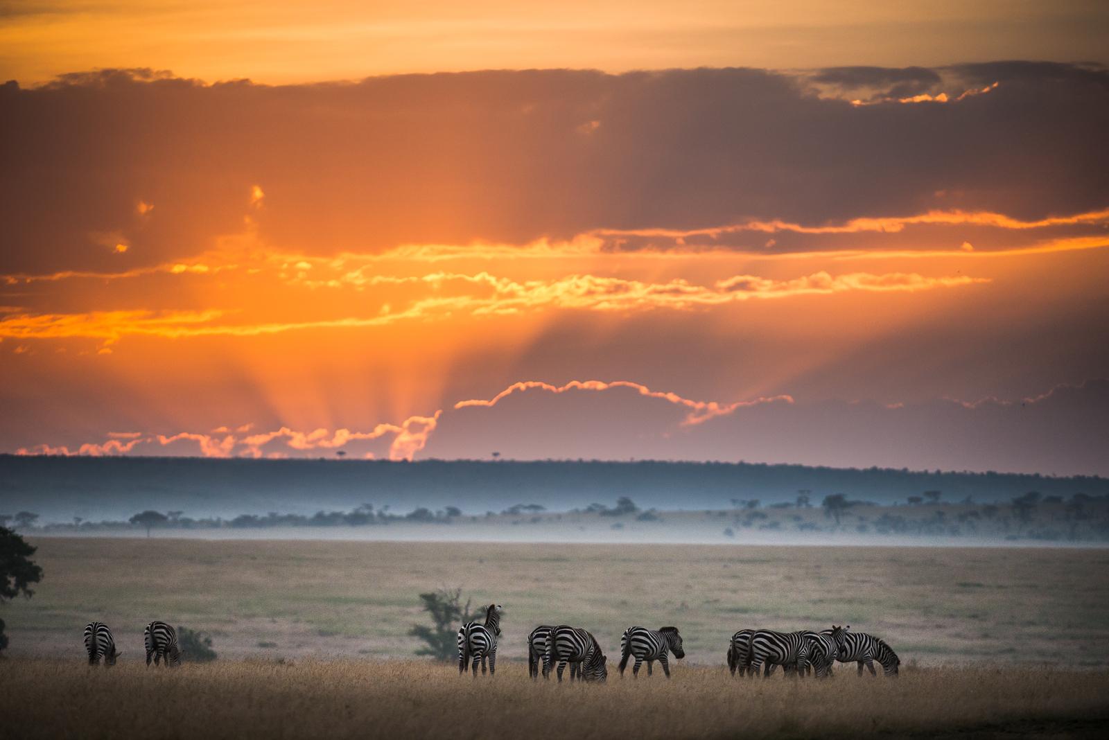 Zebra, Maasai Mara National Reserve, Kenya