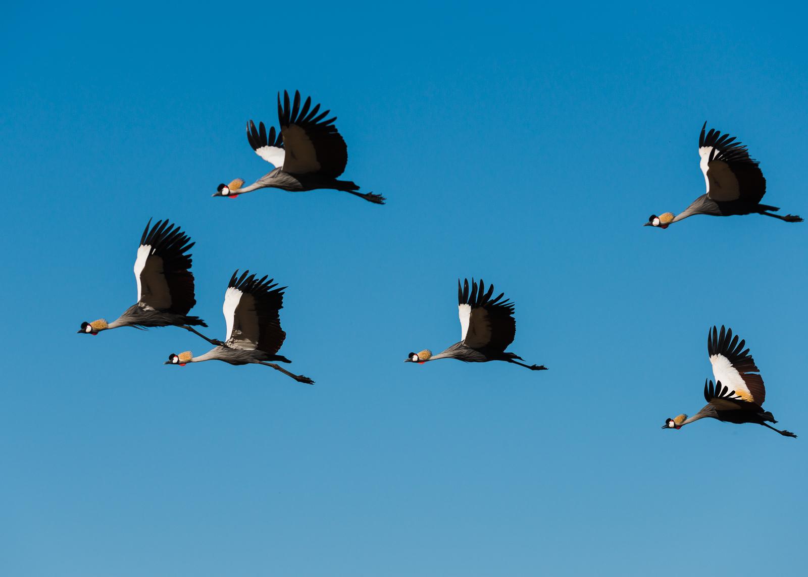 African Crowned Storks, Lewa Wildlife Conservancy, Kenya