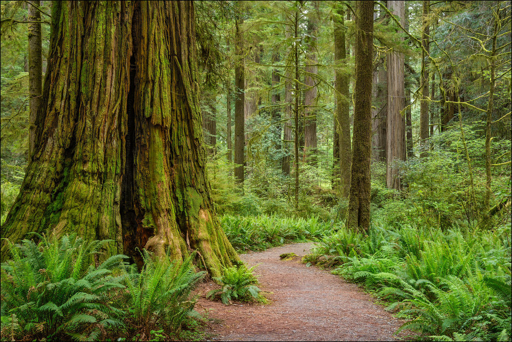 Trail through redwood trees in Simpson-Reed Grove, Jedediah Smith State Park, California.