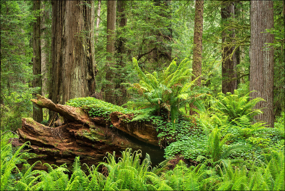 Ferns and redwood trees; Cal Barrel Road, Prairie Creek Redwoods State Park, California.