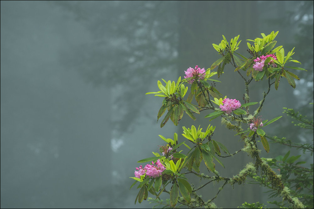Rhododendron blooming in the fog, Del Norte Redwoods State Park, Redwoods State and National Parks, Calfornia.