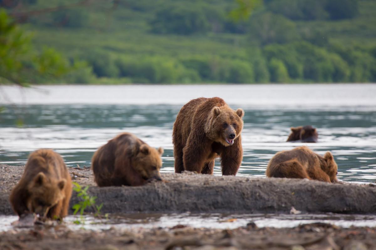 ©Denis Budkov bears.JPG
