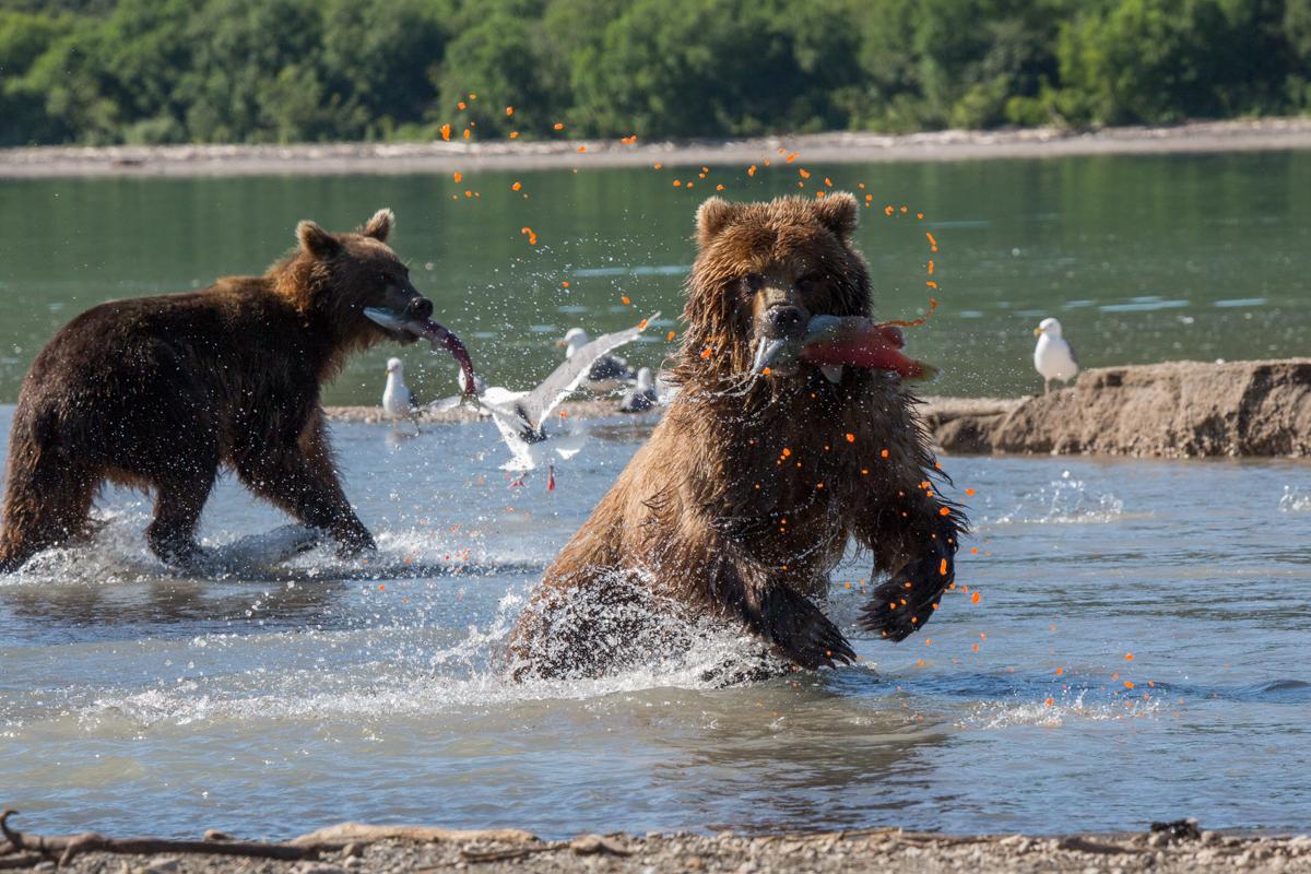 ©Denis Budkov Brown Bears at Kurilskoye Lake Kamchatka.JPG