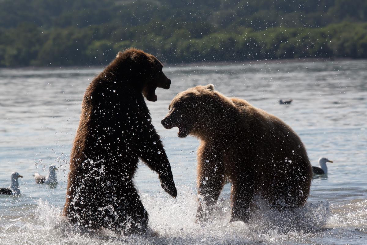 ©Denis Budkov fighting bears at Kurilskoye Lake Kamchatka.JPG