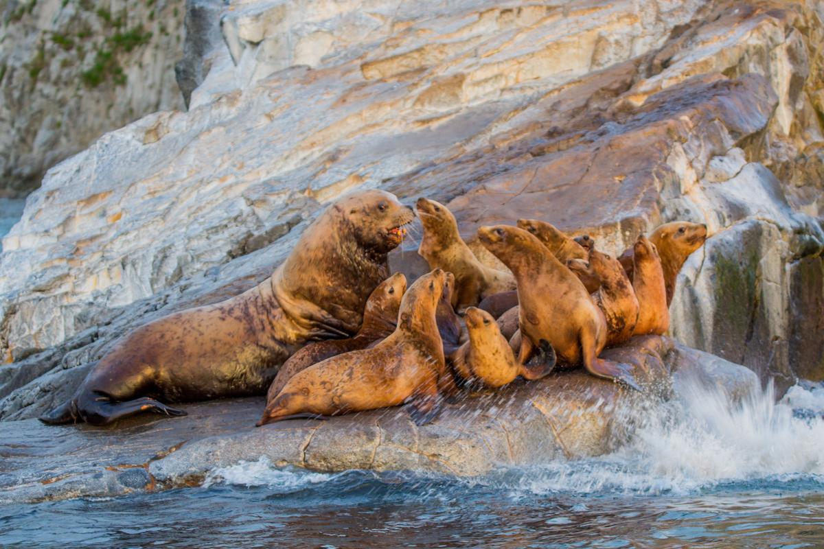 ©Denis Budkov Sea lions at Russkaya Bay Kamchatka.JPG