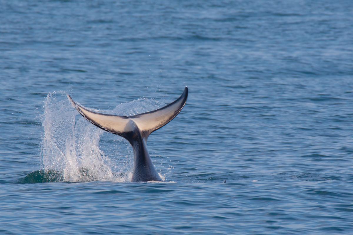 ©Denis Budkov Whale at Russkaya Bay Kamchatka.JPG
