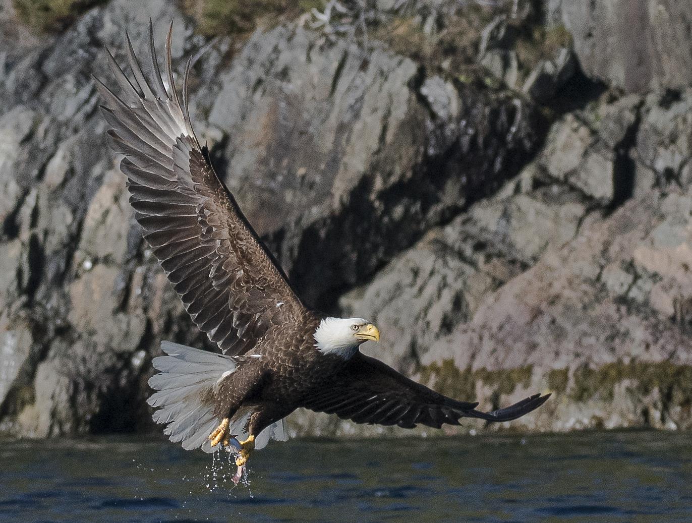 bald eagle with fish.jpg