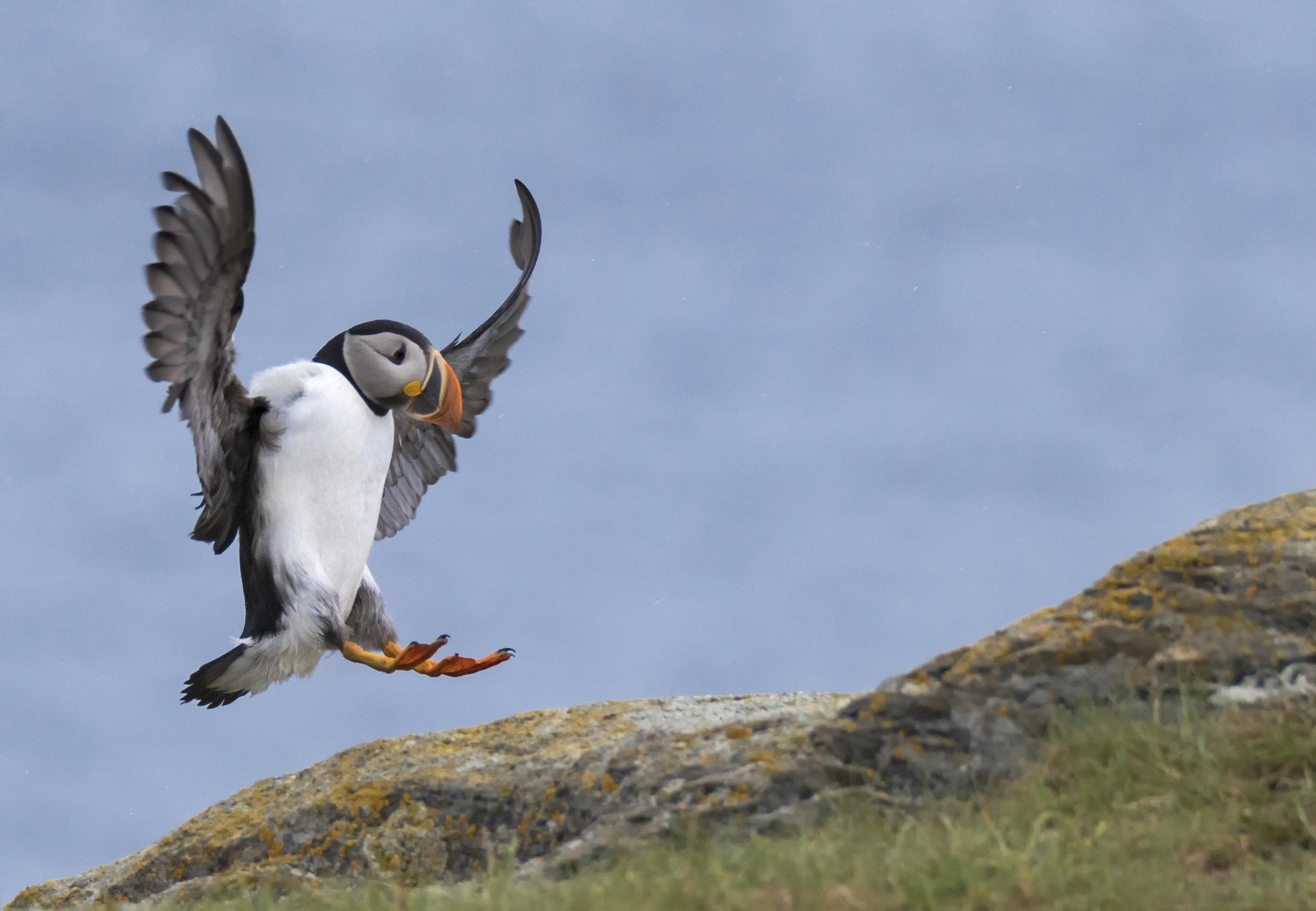 elliston puffin coming in for landing.jpg
