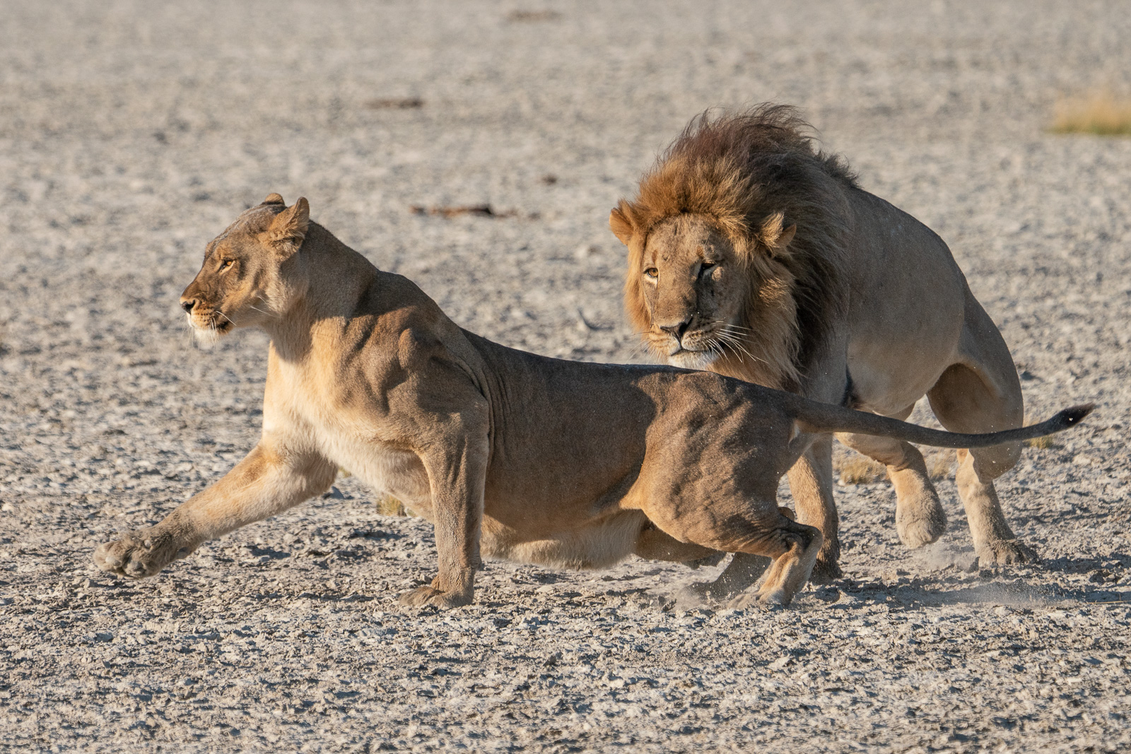 muench-workshops-lions-kalahari-safari.jpg