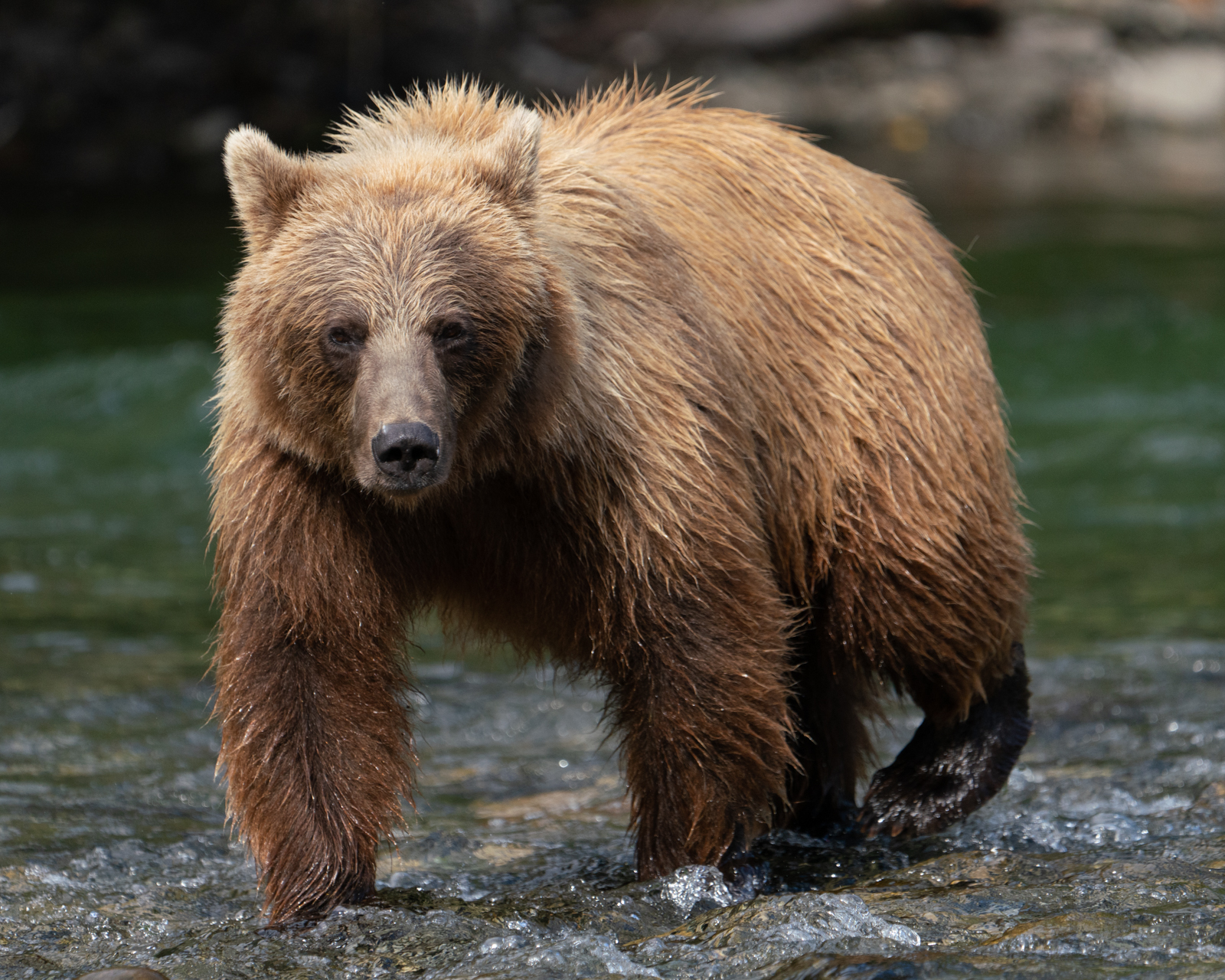 BC-Grizzly-Bears-00415.jpg