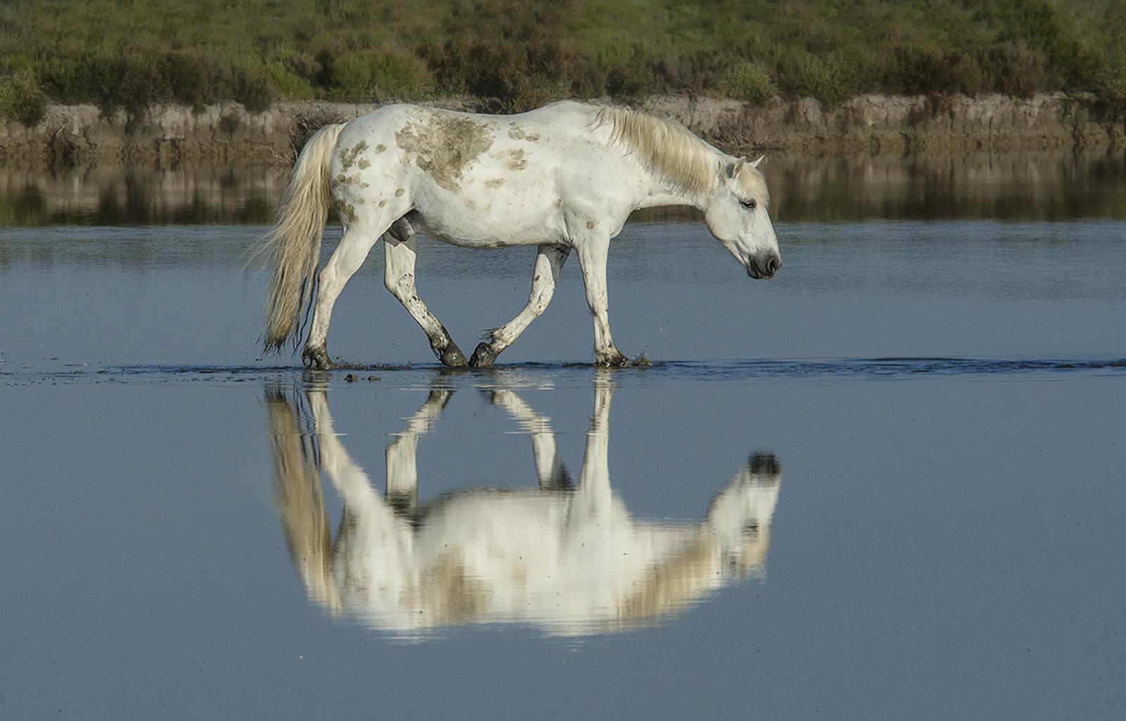 camargue horse.jpg