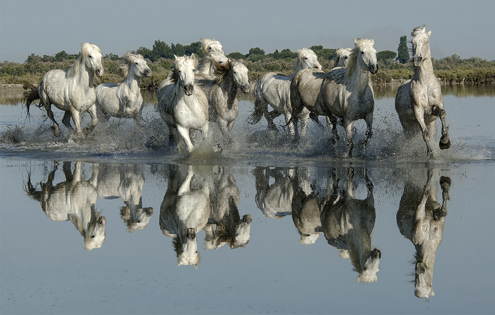 camargue horses in the pond - Copy.jpg