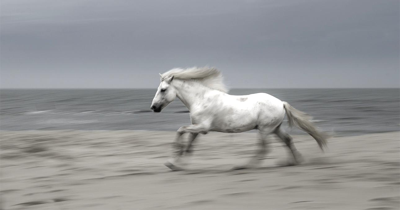 camargue stallion at the sea.jpg