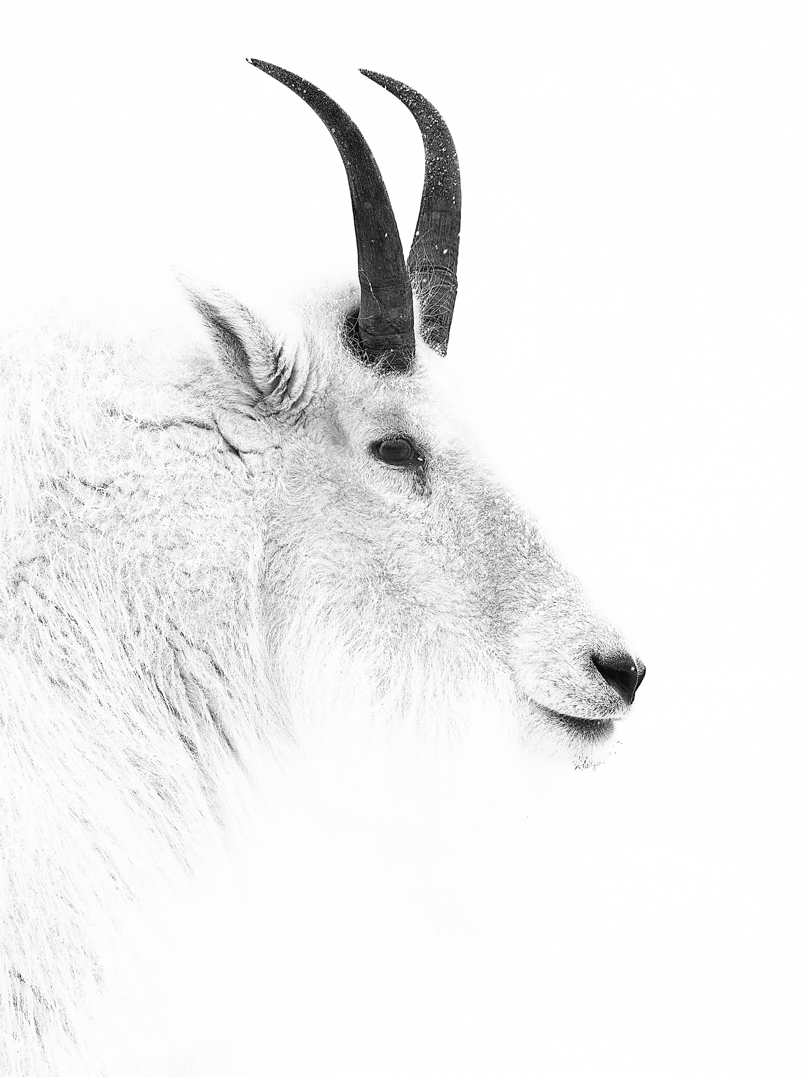 black and white goat portrait.jpg