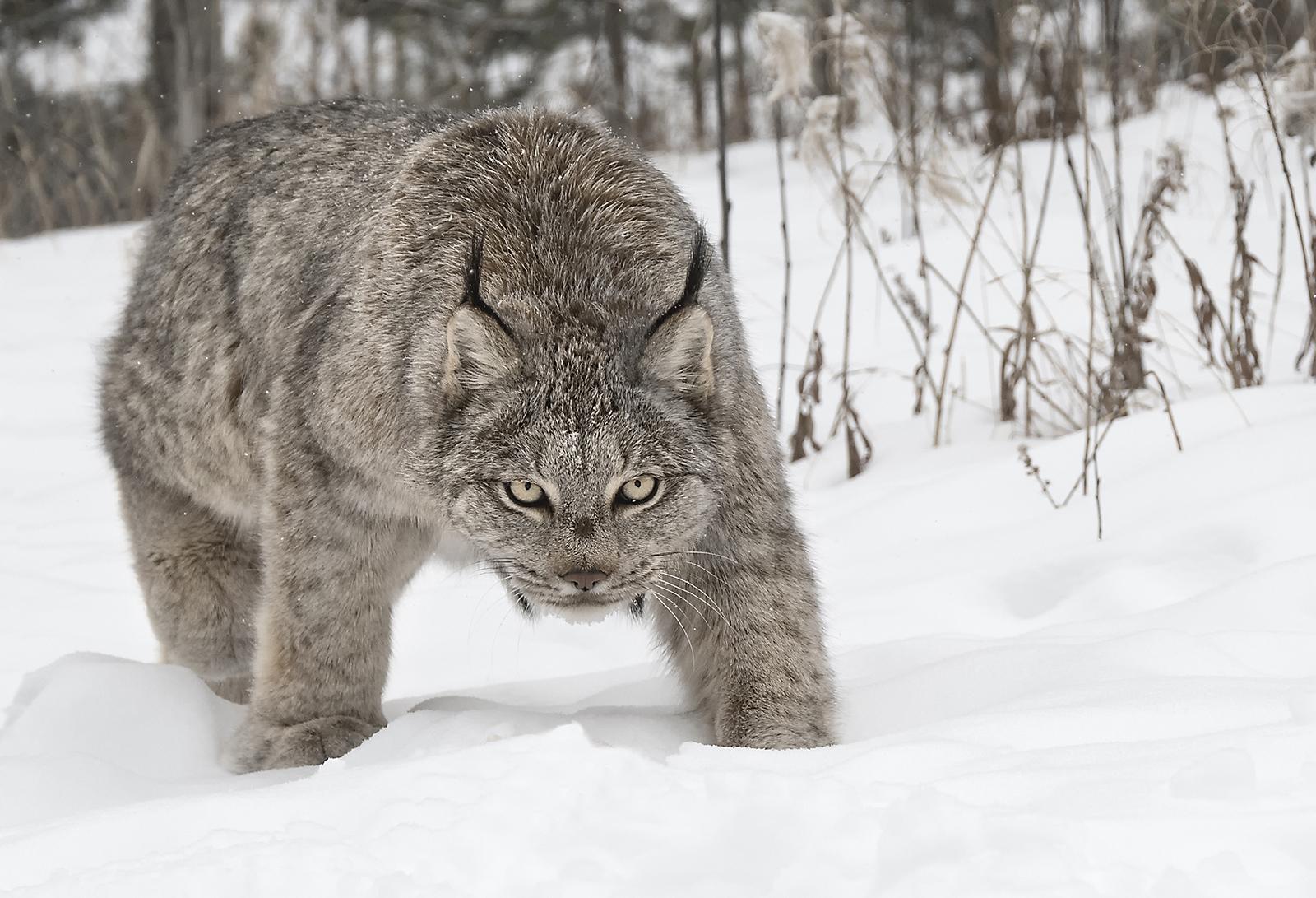 canada lynx_2.jpg